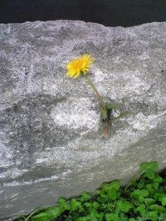 コンクリートからタンポポの花