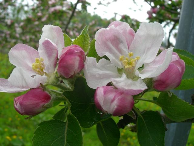 2011年のりんごの花「ブラムリー」