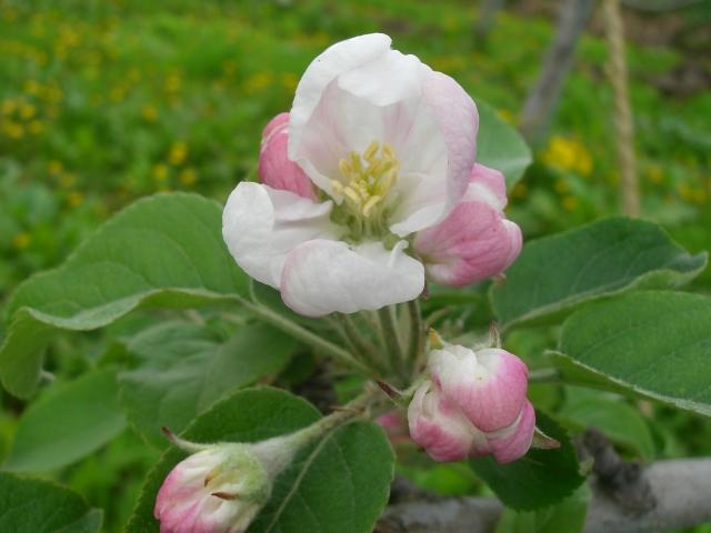 2011年の林檎の花「昂林」
