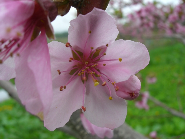 2011年の桃の花「あかつき」