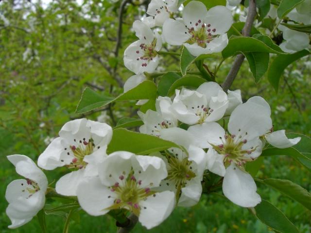 2011年の梨の花「グランドチャンピオン」
