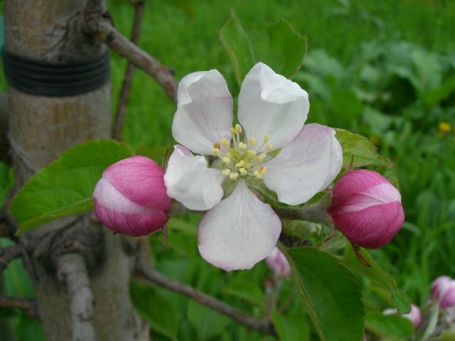 2011年のりんごの花「王林」
