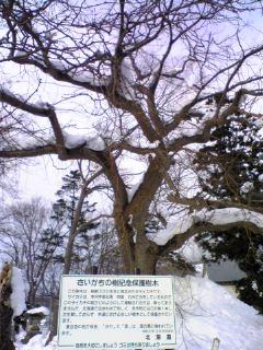 樹齢300年のさいかち