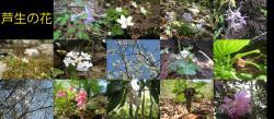 芦生の花1