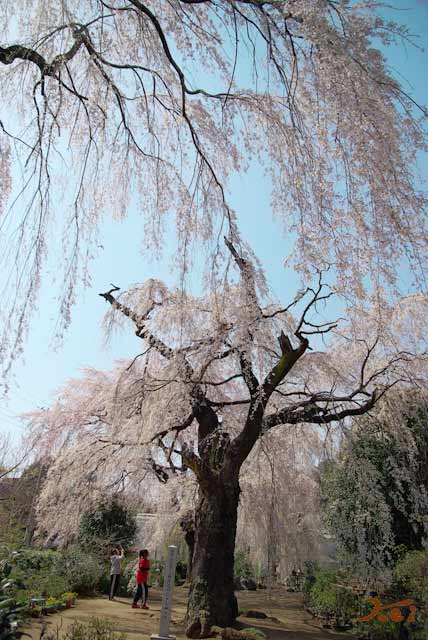 2008桜づくし03