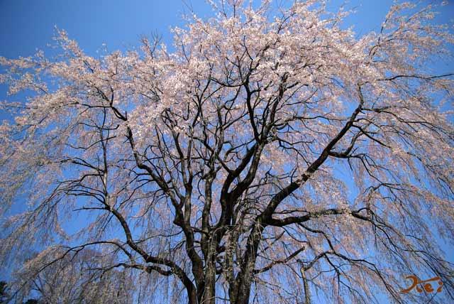 2008桜づくし04