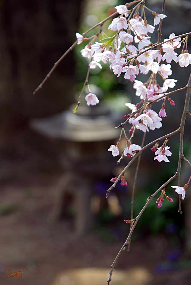 2008桜づくし05
