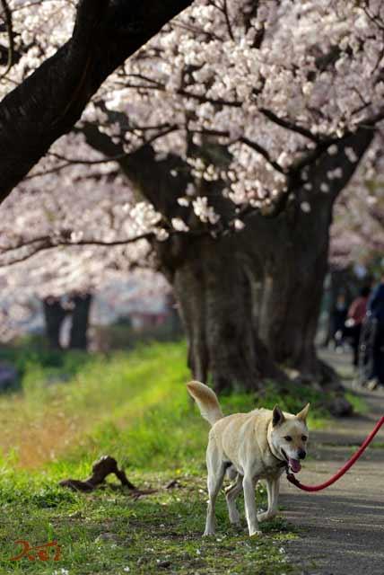 2008桜づくし08