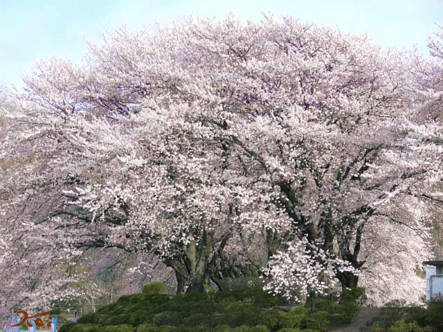 2008桜づくし06