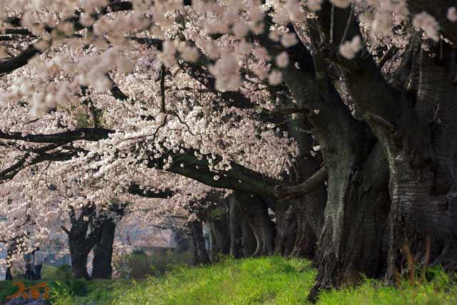 2008桜づくし07
