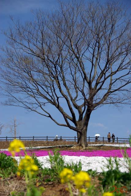 0804芝桜03