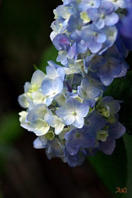 0806紫陽花02