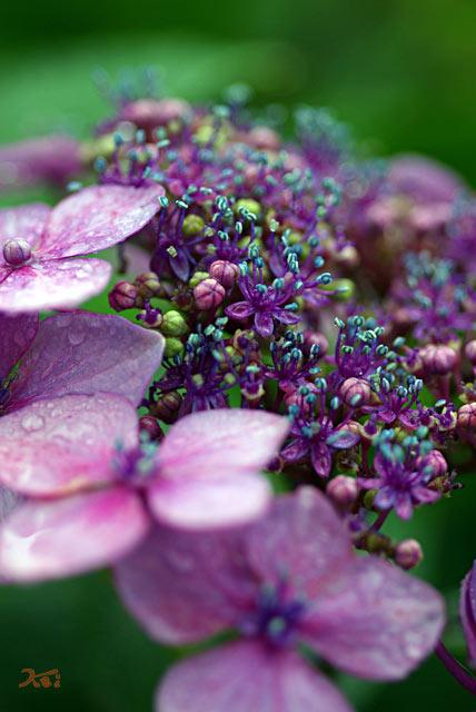 0806紫陽花03