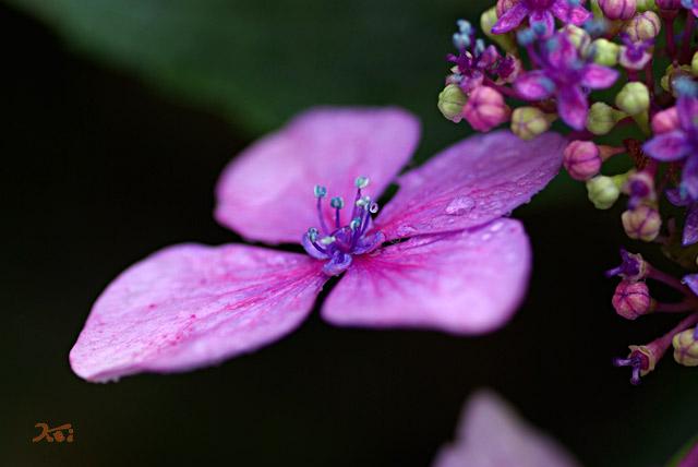 0806紫陽花04