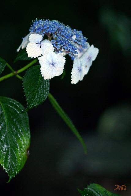 0806紫陽花07