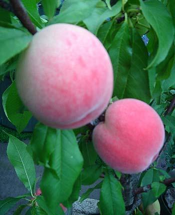 peach2007
