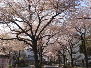 090408桜通り2