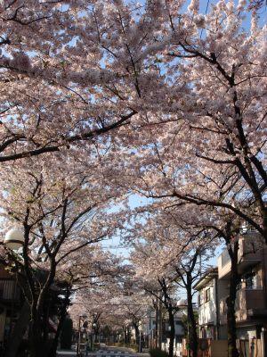090408桜通り3