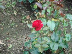 支倉のバラ