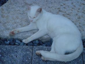 白ネコさま