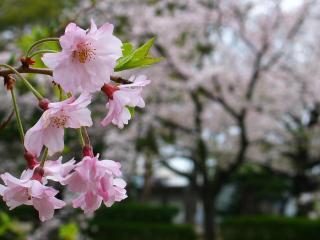 sakura_015.jpg