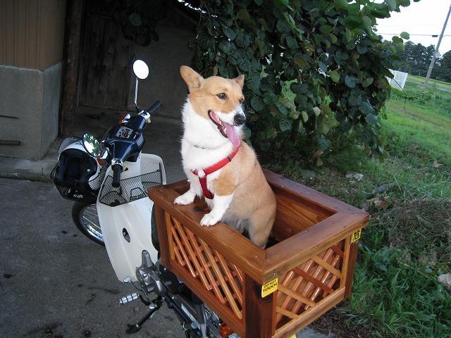 スーパーカブ犬『華』登場