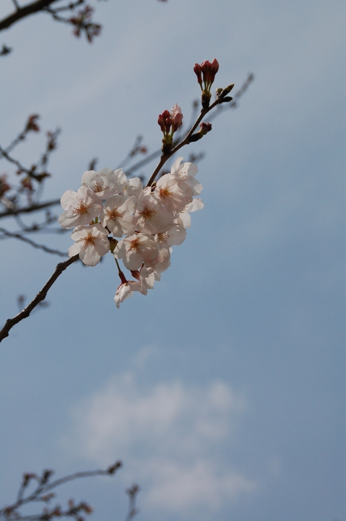 2010桜_徳島城址001