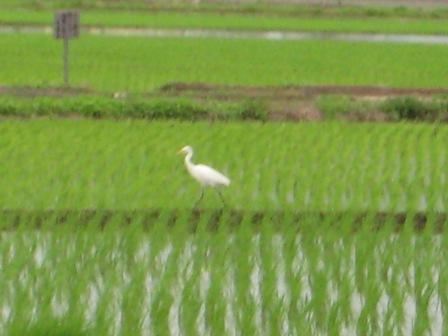 ①サギ発見_090708