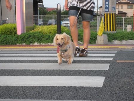 ⑥太陽もずいぶん低くなり、張り切って散歩へ出発。でもやっぱり暑い!!