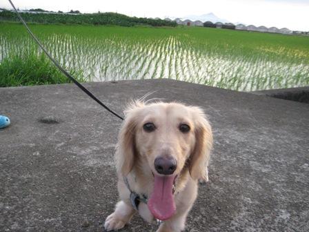 ⑪普賢岳と大きくなった稲をバックに記念写真。