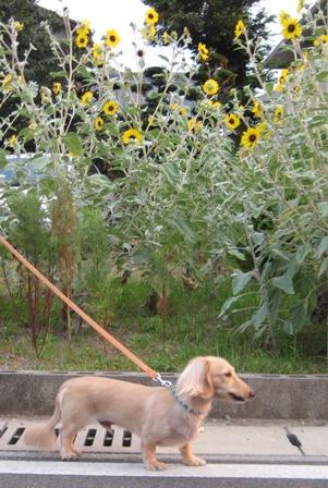 ④ほら向日葵もきれいに咲いてるよ