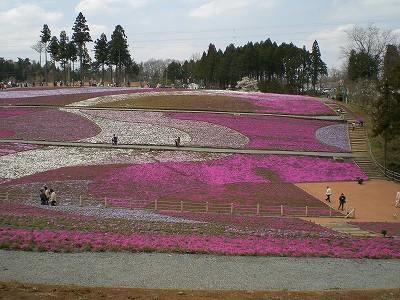 shibazakura.jpg