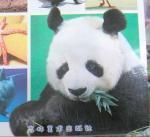 凛々しい目のパンダ2