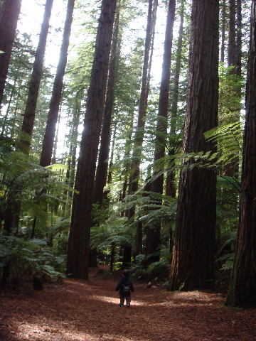red woods5-29