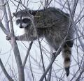 250px-Raccoon_climbing_in_tree_clipped.jpg