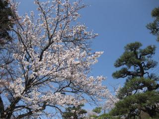 201004041_sakura
