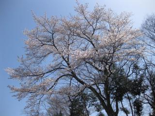 201004042_sakura
