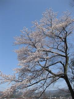 201004043_sakura