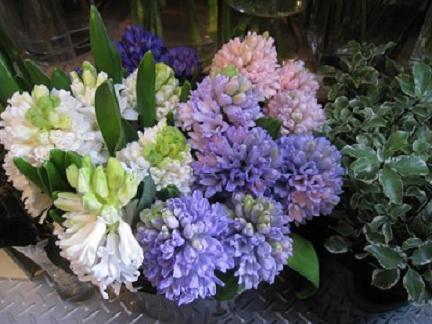 ヒヤシンス切り花