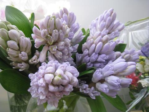 ヒヤシンス切花