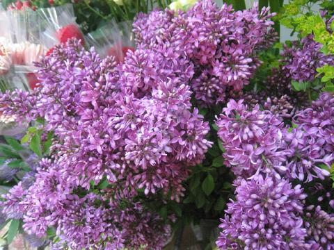 ライラック切花