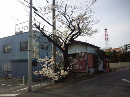 たくましい桜 20100331