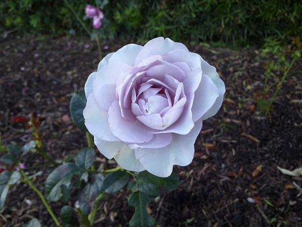 フラワーパーク 青いバラ その2
