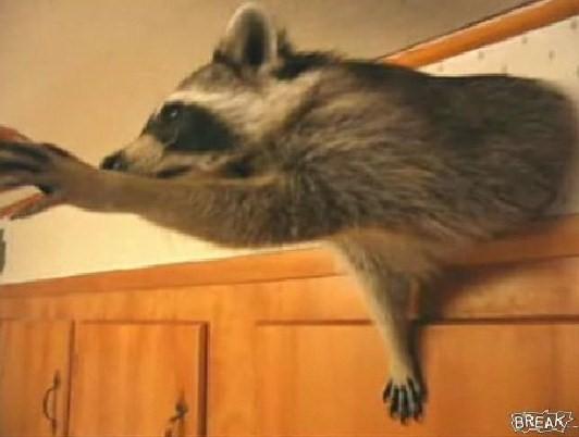 キッチンをメチャクチャにするアライグマ