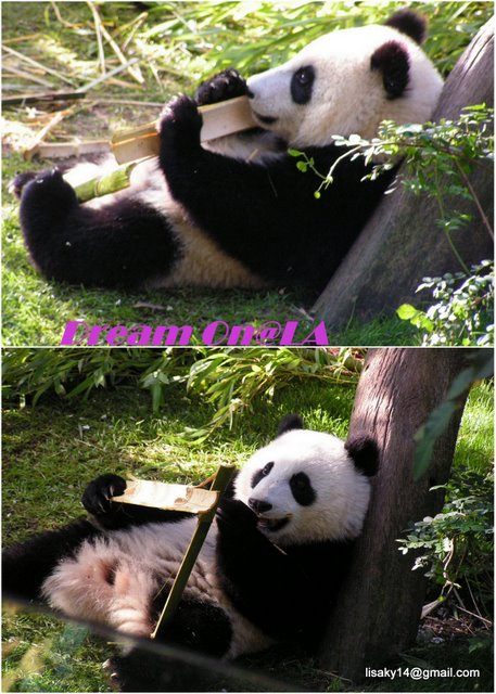 Collage_panda1