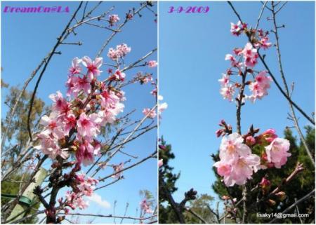 collage_cherryCP05con