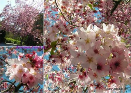 collage_sakura01con1