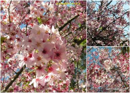 collage_sakura03con