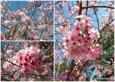 collage_sakura05con