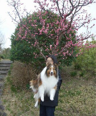 梅が咲いていました。